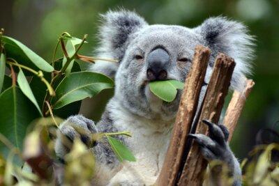 Картина Коала в Лоун-Пайн-Коала в Брисбене, Австралия