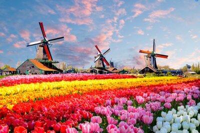 Картина Пейзаж с тюльпанами, традиционными голландскими ветряными мельницами и домами возле канала в Заансе Сханс, Нидерланды, Европа
