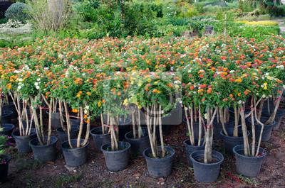 Лантана цветы