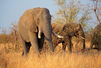 Картина Большие африканские слоны быка (Loxodonta Африкана), Национальный парк Крюгера, Южная Африка.