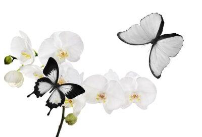 Картина Большая белая цветки орхидеи и две бабочки