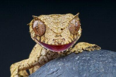 Картина Листовая-белохвост геккон / Uroplatus phantasticus