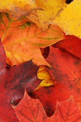 Картина листья клена