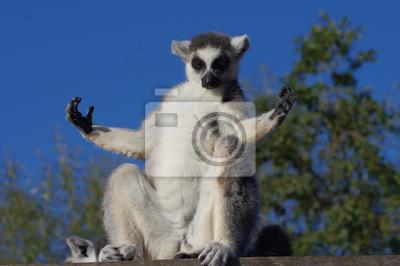 Картина lémurien маки Катта