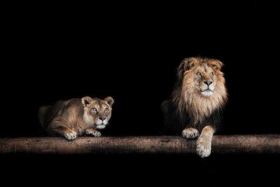 Картина Лев и львица, Портрет красивых львов, львов в да