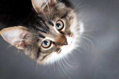 Картина немного пушистый котенок на сером фоне