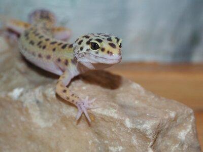 Картина Маленький геккон леопарда на камне. закрывать