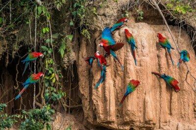 Картина ара в глиняном лизать в перуанской Амазонии джунглей в Мадре-де-Ди