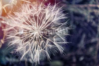 Картина Макрос изображение большой красивый одуванчика. Малая глубина резкости. Творческий марочные фильтр, ретро эффект