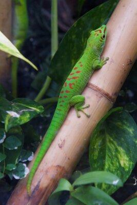 Картина Мадагаскар гигантский день геккон