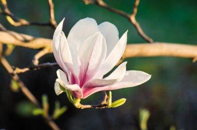 Картина magnolia flower in sunlight