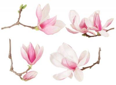 Картина Магнолия цветок ветка весенняя коллекция на белом, отсечения путь
