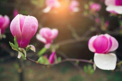 Картина цветы магнолии