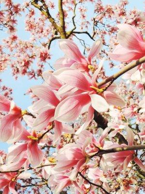 Картина дерево магнолии в цвету