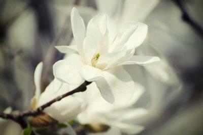 Картина Магнолия белые цветы
