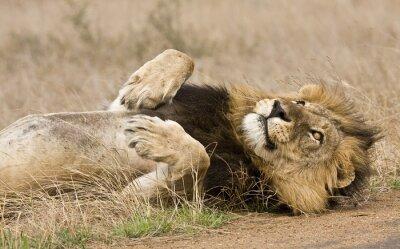 Картина мужчина лев лежал в кустах, Крюгера, Южная Африка