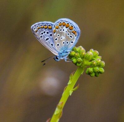 Картина Mariposa Azul En La Flor