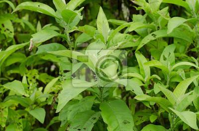 Нгай камфора (трава используется для извлечения камфора)