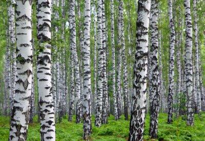 Картина хороший летний березовый лес