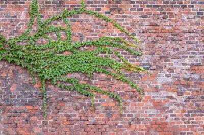 Картина Старый красной кирпичной стене заросшей плющом