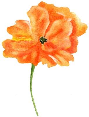 Картина Оранжевый мак. Акварельная живопись, изолированных на белом фоне