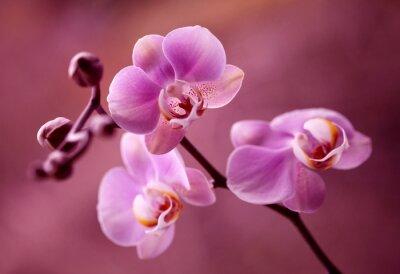 Картина Orchidea - Storczyki ФИОЛЕТОВОЕ