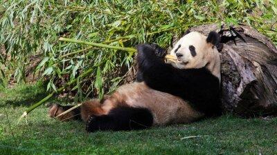 Картина Oso панда tumbado comiendo Bambú