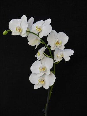 Картина бледно-белые орхидеи крупным планом на черном фоне
