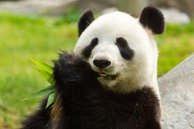 Картина Панда медведь ест бамбук