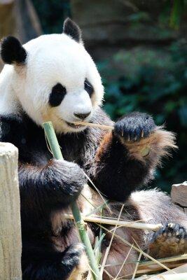 Картина Panda медведь ест бамбук