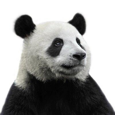 Картина Panda Bear на белом фоне