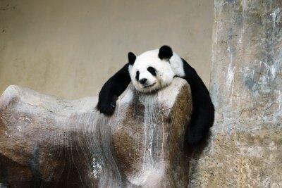 Картина панда отдыхает