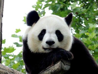 Картина Panda Géant 7