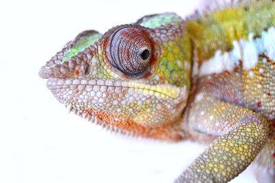 Картина Пантера Chameleon