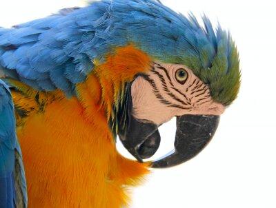 Картина parrot bird animal  head