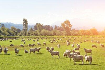 Картина пастбища с животными в летний солнечный день в Новой Зеландии