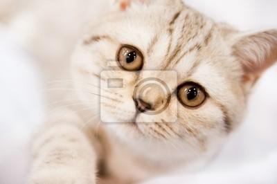 Картина Родословная кошки