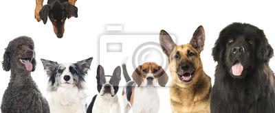 Картина Породистые собаки - Rassehunde