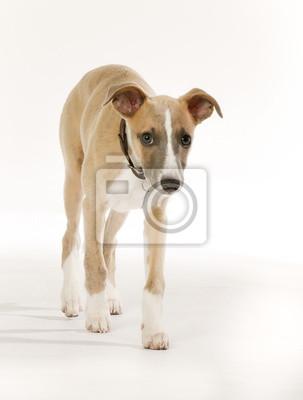 Картина Родословная гончая собака