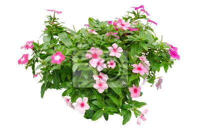 Periwinkle цветы, изолированных на белом фоне