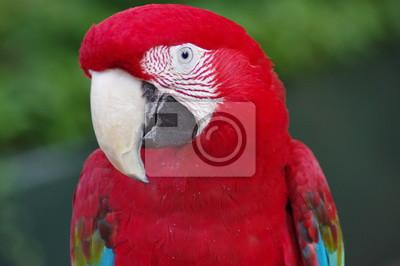 Картина Perroquet ара румяна