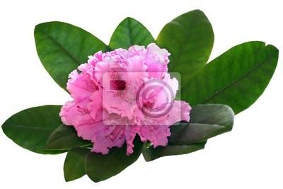 Розовый рододендрон на белом фоне
