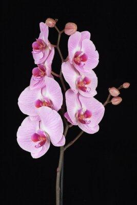 Картина Розовый прожилками цветок орхидеи (фаленопсис)