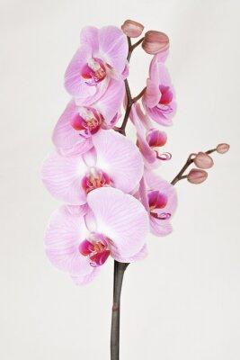 Картина Розовый прожилками Orchidea