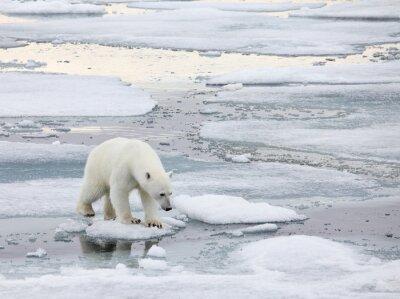 Картина Белый медведь в естественной среде