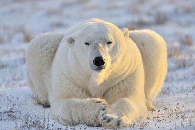 Картина Белый медведь лежал на тундру.