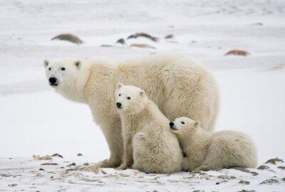 Картина Белый медведь с медвежатами в тундре. Канада. Отличной иллюстрацией.