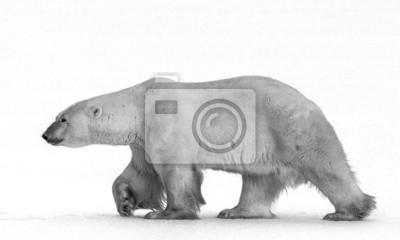 Картина Полярные медведи нос к носу.