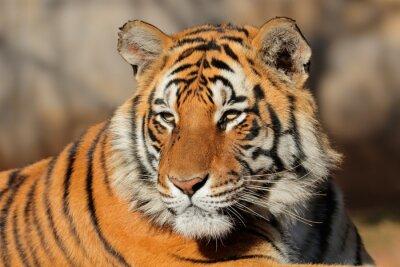Картина Портрет бенгальского тигра (Panthera Tigris bengalensis).
