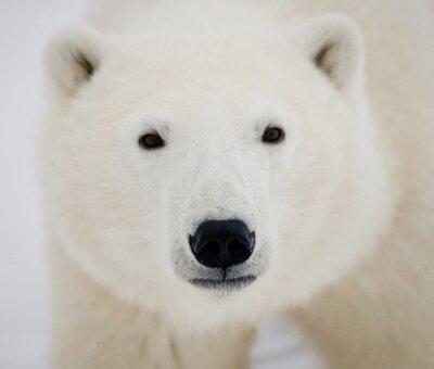 Картина Портрет белого медведя. Крупным планом. Канада. Отличной иллюстрацией.